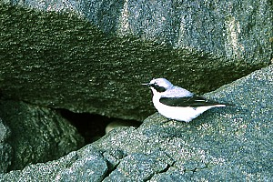 8 Male Wheatear